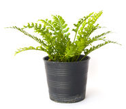 Fern in a pot. Isolated on white Stock Photo