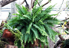 Fern pot plant Royalty Free Stock Images
