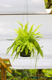Fern.A Potted Plant. Royalty Free Stock Image