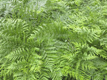 Fern - Pteridium aquilinum Royalty Free Stock Image