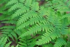 Fern Pteridium aquilinum bracken, brake spring green leaves macr stock photos