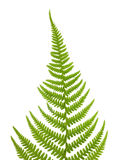Fern Pteridium aquilinum Stock Images