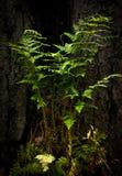 Fern Pteridium-het aquilinumstilleven groeit in zijn natuurlijke habitat royalty-vrije stock afbeelding