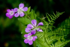 Fern and Purple Flowers. A fern and purple flowers.  The flowers are Meadow Crane's Bill or Cranesbill Royalty Free Stock Images
