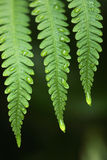 Fern and rain drops Stock Photography