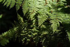Fern in rain forest with daylight. Texture of green fern in rain forest with daylight and shadow Stock Photos