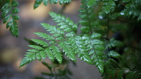 Fern with raindrops stock footage