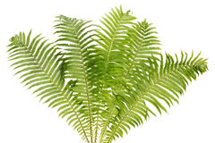 Fern real bush isolated Royalty Free Stock Images