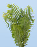 Fern real bush isolated on sky Royalty Free Stock Images