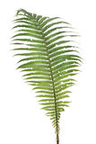 Fern real forest leaf isolated Royalty Free Stock Photo