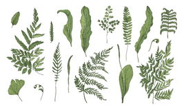 Fern realistic collection. Hand drawn sprouts, frond, leaves and stems set. Colorful vector illustration. Royalty Free Stock Image