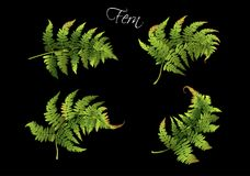 Fern realistic set. Vector realistic illustration set of fern isolated on black background. Botanical element for tropical or forest design project. Highly Royalty Free Stock Photos