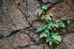 Fern in rock Stock Images