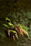 Fern on a rock Royalty Free Stock Images