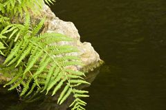 Fern and Rock Royalty Free Stock Image