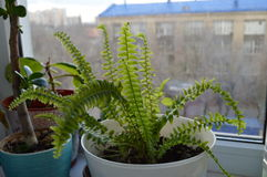Fern room. A flowerless plant that has feathery or leafy fronds and reproduces by spores released from the undersides of the fronds. Ferns have a vascular system Stock Images