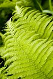 Fern's leafes Royalty Free Stock Photos