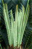 Fern-Sago palm-Tender leaves Stock Image