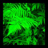 Fern. Saturated photo of fern frond in Kersey Valley, Va Royalty Free Stock Photography