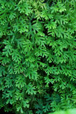 Fern selaginella Stock Photography