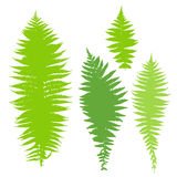 Fern set. Vector illustration of green dry fern set Royalty Free Stock Photo