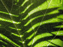 Fern shadow on leaf. The shadow of a fern frond on a leaf Stock Photos