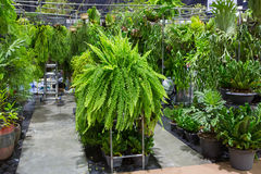 Fern shop. The fern shop with many varieties stock photo