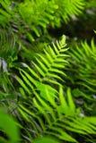 Fern shrubs in natural environment - Pteridium aquilinum Stock Photos