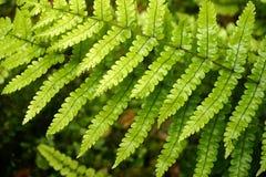 fern się kaskadą liście Obraz Stock
