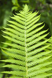 Fern. Single leaf of young fern stock image