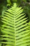 Fern. Single leaf of young fern Stock Image