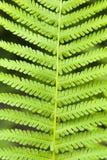 Fern. Single leaf of young fern, closeup Stock Photos