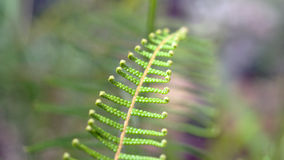 Fern. Small little fern with little curls at each end of its leaves Royalty Free Stock Photography