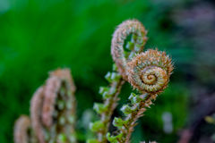 Fern Spiral Royalty Free Stock Photography