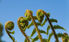 Fern Spiral Unfolding Royalty Free Stock Image