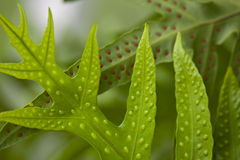 Fern and Spore. Close up of spore on fern leaves Royalty Free Stock Photo