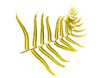 Fern spores Stock Image