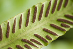 Fern spores on leaf. Stock Image
