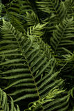 Fern. Spring. Forest. Royalty Free Stock Images