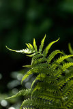 Fern. Spring. Forest. Royalty Free Stock Photo