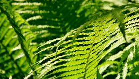 Fern in Spring sunlight Royalty Free Stock Photography