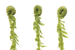 Fern sprouts. Wild young curled fern sprouts in a row, on a white background stock photography