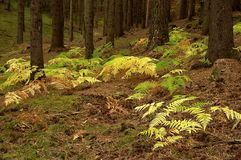 Fern in the spruce forest Royalty Free Stock Photography