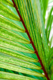 Fern stem. Details of a fern up close Royalty Free Stock Image