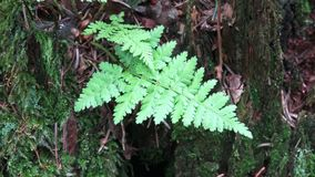 Fern on a stump in a forest. A fern a growing on a tree stump stock footage