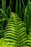 Fern. Summer forest. Royalty Free Stock Photography