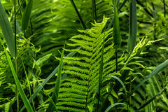 Fern. Summer forest. Royalty Free Stock Photos