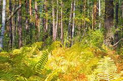 Fern. Summer woods somewhere in Siberia Stock Image