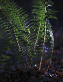 Fern in sun Royalty Free Stock Photos