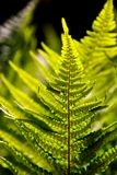 A Fern in the Sunlight Royalty Free Stock Image
